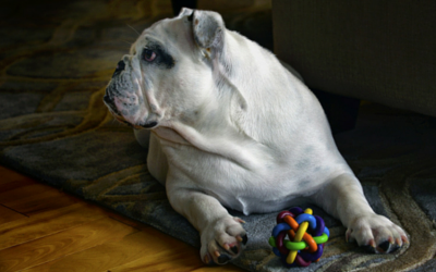 image for 8 Fun Ways to Exercise Your Dog Indoors
