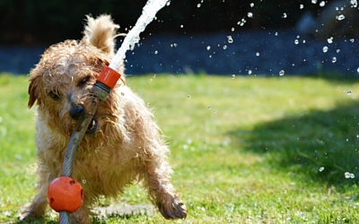 image for The Dog Days of Summer: Avoiding Heatstroke and Dehydration